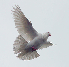 Dove Soaring High